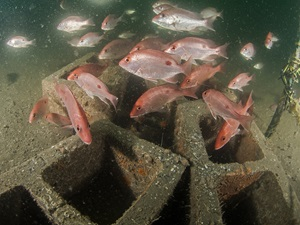 School of fish with artificial reef