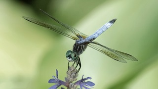 Minnesota Dragonfly